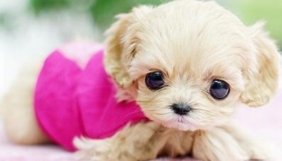 """贵宾,约克夏,吉娃娃等犬种都有""""茶杯犬""""款."""