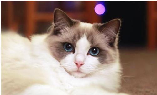 布偶猫_布偶猫和加菲猫哪个性格更好?