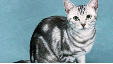 美国短毛猫,波斯猫 ,守护神哈瓦那,异国短毛猫,美国卷耳猫,埃及猫,褶