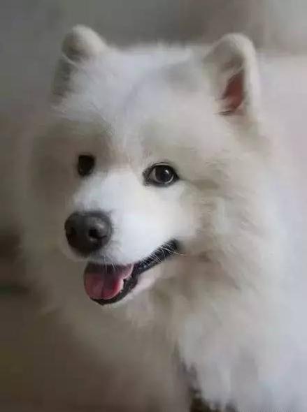 最受欢迎的宠物狗排名top10